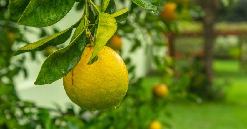 Citrus frugter: 5 forskellige citrus frugter