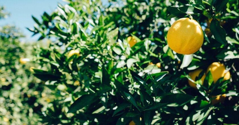 Hvad er et citrus træ?